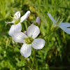 Cuckoo Flower, also called Lady's Smock