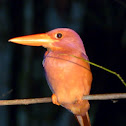 rubby kingfisher