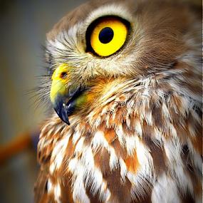 by Dino Rimantho - Animals Birds ( nature, owl, birds, animal,  )