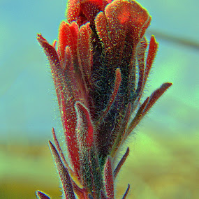 Rare Indian Paintbrush by Dale Fillmore - Nature Up Close Leaves & Grasses ( plant, macro, nature, rare, flower,  )