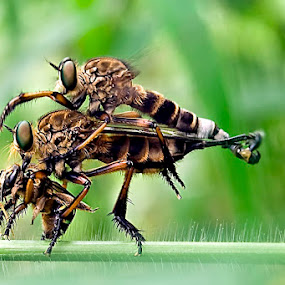 by ERFAN AFIAT SENTOSA - Animals Insects & Spiders (  )