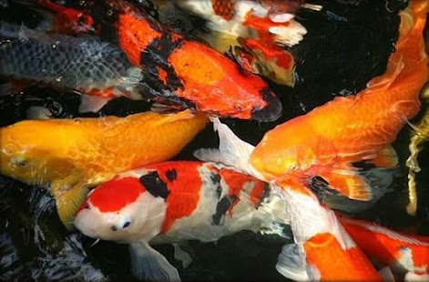 Fancy koi fish live wallpaper android apps on google play for Fancy koi fish