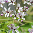 Chinaberry, Bead-tree or Cape Lilac
