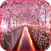Sakura Wallpaper CherryBlossom