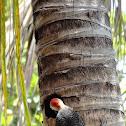 Carpintero Yucateco (Yucatan Woodpecker)