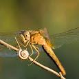 Dragonflies and Damselflies of Greece
