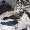 Cucuve de Galápagos. Galapagos Mockingbird