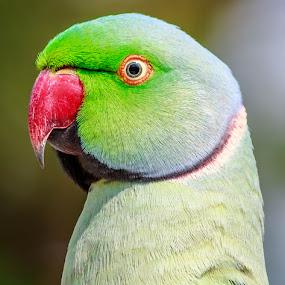 Rose ringed parakeet by Brijesh Meena - Animals Birds ( parrots, parrot, rose ringed parakeet, wildlife, birds,  )
