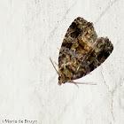 Large Mossy Glyph Moth