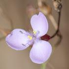 Grass Lily or Slug Herb