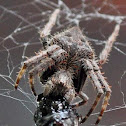 Orb Weaving Spider