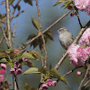 Chipping Sparrow in a Blossoming Quanson Cherry Tree