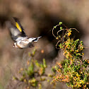Pintassilgo (European Goldfinch)