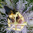 Horsemint Bee Balm