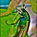 Fig Eater Beetle