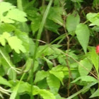 Mountain Strawberry