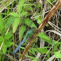 Eastern pondhawk (male)