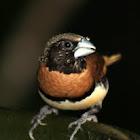 Chestnut-breasted Mannikin