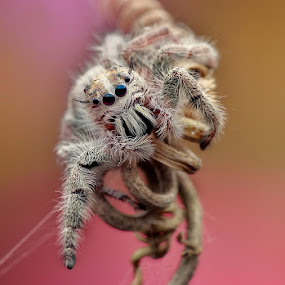 Spider by Herman  Noh ( Kajong ) - Animals Insects & Spiders