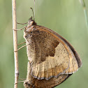 Meadow brown (male and female)