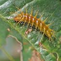 Orange Caterpillar