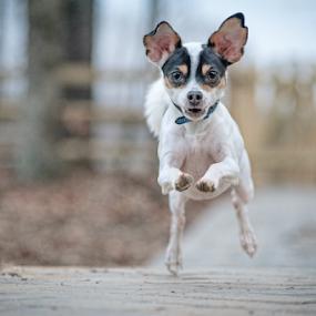 Seamus Full Tilt by Lorella Johnson - Animals - Dogs Playing ( chihuahua run fast dog )