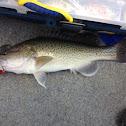 Trout Cod