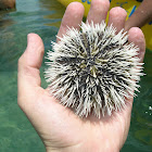 variegated sea urchin