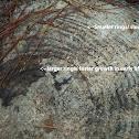 Slash Pine & Tree Rings
