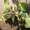 Oleander Hawk-moth - Male