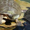 Hilaire's Toadhead Turtle