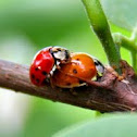 Harlequin Ladybird Beetle