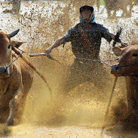 Pacu Jawi / Cow Race by Primayudha Putera - Sports & Fitness Other Sports ( indonesia, pacu jawi, west sumatera )