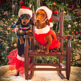 christmas hound by Timothy Scarsphotography - Animals - Dogs Portraits ( animals, dogs, christmas, dog portrait )