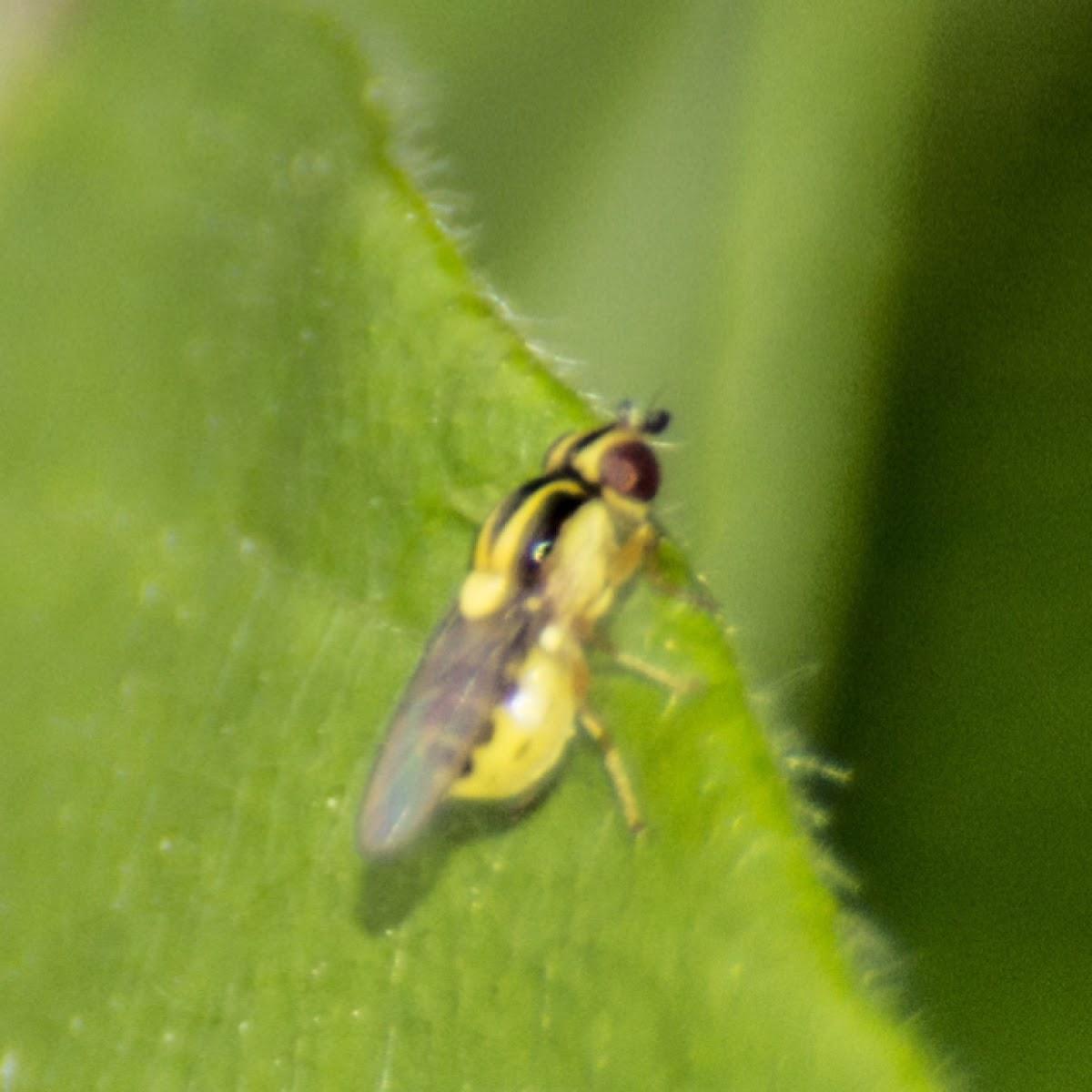 Leaf mining fly