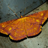 Geometridae, Desmobathrinae - Eumelea sp
