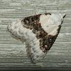 Sharp-blotched Nola Moth