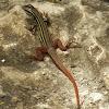 Yucatan whiptail