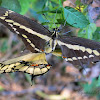 Western Giant Swallowtail (Mating)