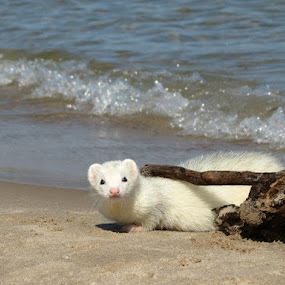 Boo Garou by Alicia McNally - Uncategorized All Uncategorized ( exotic pet, pet, beach, ferret )
