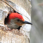 Red-bellied Woodpecker Video
