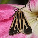 Apentisis phalerata
