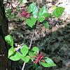 Sweetshrub, spicebush