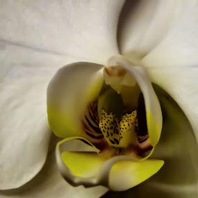 angel by Sandy Crowe - Flowers Single Flower ( spots, detail, white, close up, flower,  )