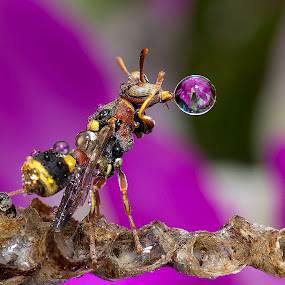 Wasp Blowing Droplet Never End 150113A by Carrot Lim - Animals Insects & Spiders (  )