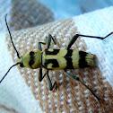 Longhorn Beetle / Variabler Widderbock
