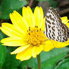 White Dotted butterfly/Common Pierret