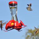 Anna's and Rufous Hummingbirds