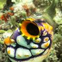 Two-spot blenny on ink-spot tunicate