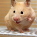 Happy Hamster Pet icon